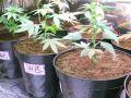 """الأشغال الشاقة 15 سنة وغرامة 20 ألف دينار لمدان بزراعة """"نباتات مخدرة"""" في قلقيلية"""