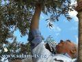 طولكرم:فياض ووزير الزراعة والمحافظ يشاركون اهالي ديرالغصون قطف الزيتون