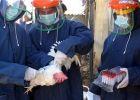 إبادة 100 ألف دجاجة شمال إسرائيل بسبب تفشي أنفلونزا الطيور