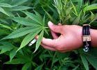 ضبط أشتال مخدرة في 20 دونما زراعياً بجنين