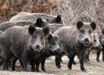 طولكرم : اطلاق حملة لمكافحة الخنازير البرية ابتداءً من مساء ...