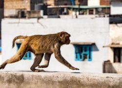 الهند: وفاة طفل سحبه قرد من بين ذراعي والدته
