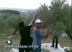 جمعية شباب فلسطين للتنمية تنظم يوم تطوعي لقطف الزيتون في إكتابا