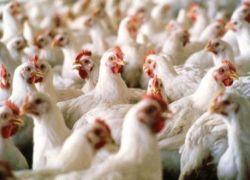 وزارة الزراعة : انخفاض أسعار الدواجن في فلسطين