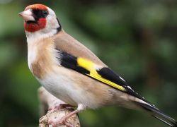 سلطة البيئة تطلق 26 طائر حسون تم ضبطها على معبر الكرامة