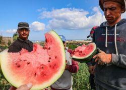 السماح بتصدير المنتجات الزراعية من غـزة الى الضفة الغربية