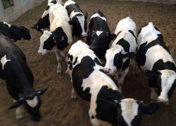 وزارة الزراعة تقرر منع استيراد العجول من السوق الاسرائيلي