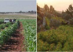 الشرطة تكشف عن تفاصيل صادمة حول مشاتل المخدرات بالضفة الغربية