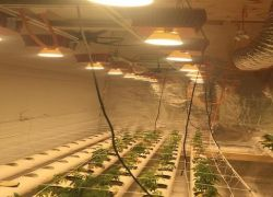 السجن 10 سنوات لمُدان بتهمة زراعة المخدرات
