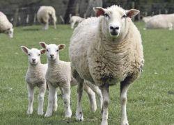 لاول مرة منذ عشرين عاما ...الزراعة تنجح بزيادة كمية الخراف في فلسطين للضعف