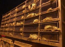 الضابطة الجمركية تضبط 395 من طيور الحبش الممنوعة من التداول في طولكرم