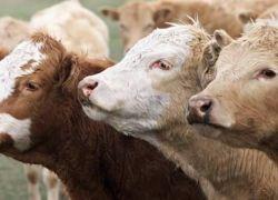 تحذيرات جدية من تفشي وباء جنون البقر من جديد!
