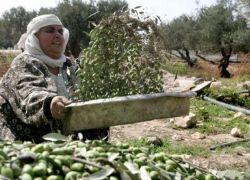 الزراعة تحدد 12 تشرين الأول موعدا لقطف الزيتون وتشغيل المعاصر