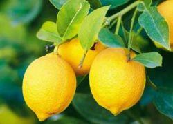 قلقيلية تبدأ بتصدير آلاف الأطنان من الليمون الى الأردن والعالم