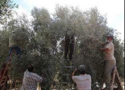 خبير يشرح مخاطر القطف المبكر للزيتون في فلسطين