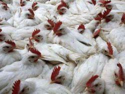 الاجهزة الامنية تفرض حصارا على بلعا بعد اكتشاف حالات انفلونزا الطيور