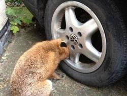 الثعلب الماكر يقع في ورطه - شاهد الصور