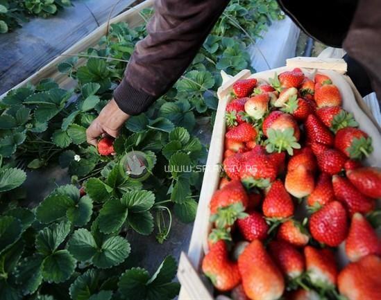 الزراعة: تصدير 3 أطنان فراولة من غـزة لدول خليجية لاول مرة