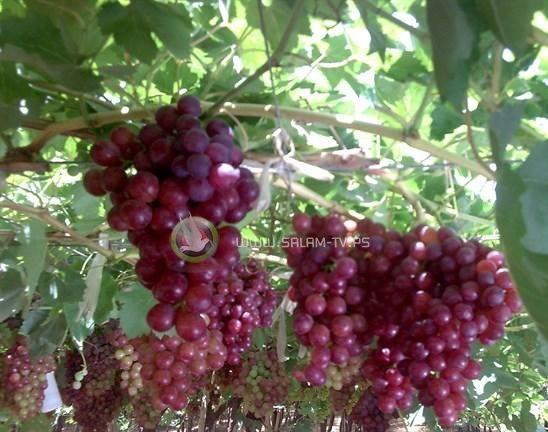 دراسة لجامعة بيرزيت: أوراق العنب قد تحمي من سرطان الرئة