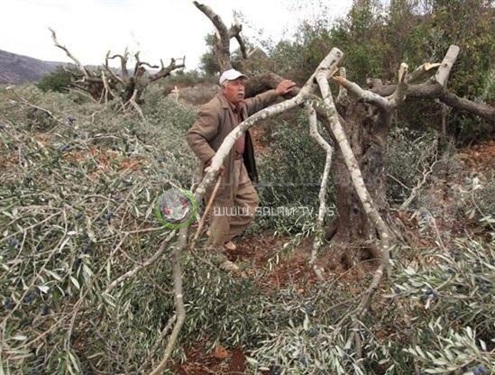مستوطنون يقتلعون 27 شجرة زيتون جنوب نابلس