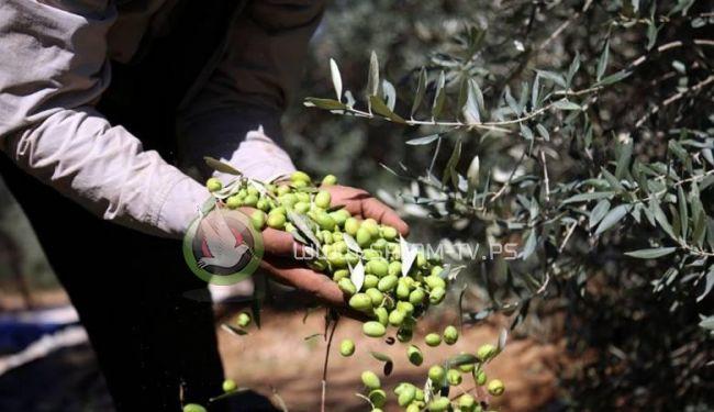 توقعات بموسم مبشر من إنتاج زيت الزيتون