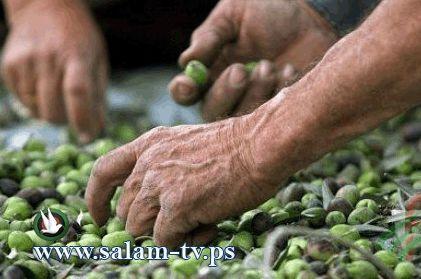 زراعة طولكرم تعقد محاضرة حول العناية بشجرة الزيتون في بلدة بلعا