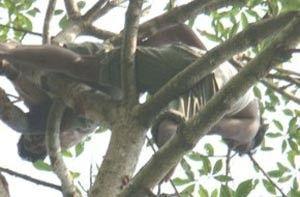 لص يمضي 11 ساعة فوق شجرة