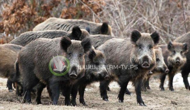 طولكرم : اطلاق حملة لمكافحة الخنازير البرية ابتداءً من مساء اليوم الثلاثاء