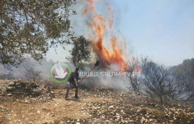 حريق ضخم يلتهم مئات دونمات أشجار الزيتون بطولكرم