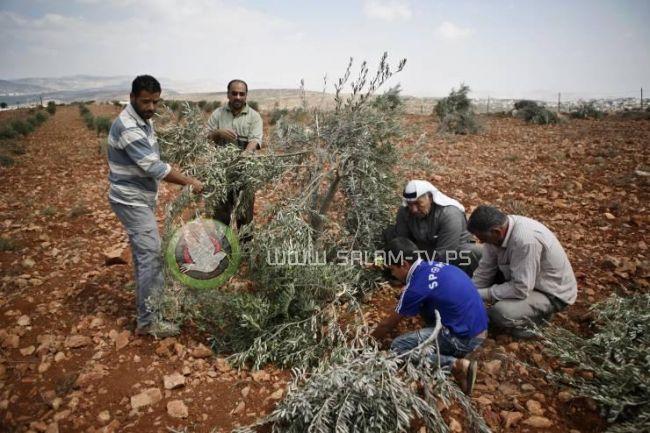 مستوطنون يقتلعون أشجار زيتونا شرق يطا