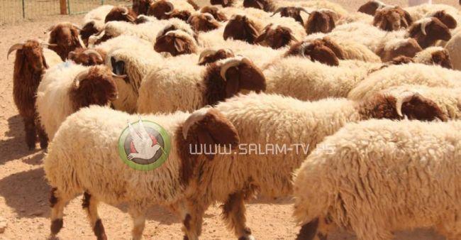 """""""الخيرية الاسلامية"""" بالخليل توزيع 7 آلاف حصة من الاضاحي"""