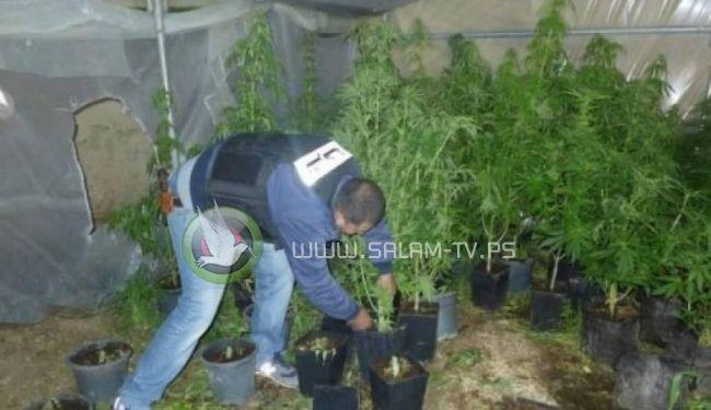 بالتنسيق مع شرطة طولكرم : ضبط مشتل كبير للمخدرات بقلقيلية
