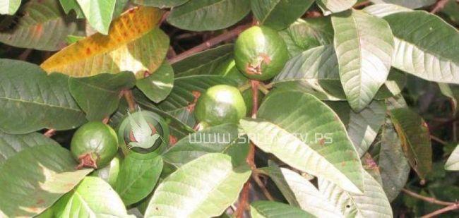 فوائد اوراق الجوافة