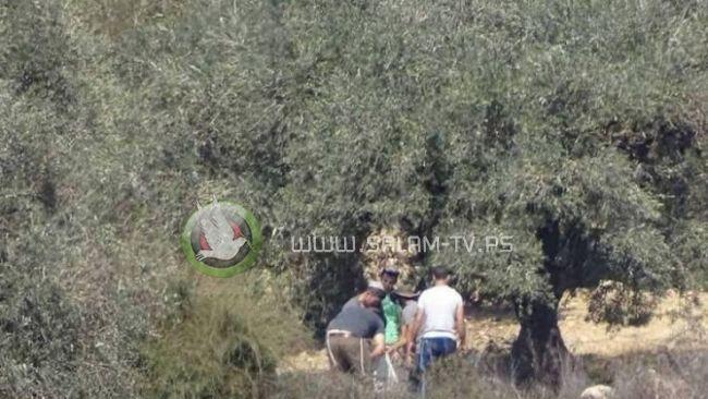 مستوطنون يسرقون ثمار الزيتون من أراضي دير شرف