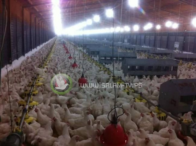 """هل يرتفع سعر الدجاج بعد حادثة """"مزرعة جنين""""؟"""