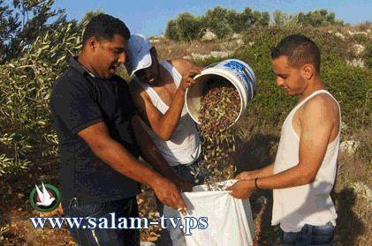 طولكرم:مؤازري المركز الفلسطيني لقضاياالسلام يشاركون مواطنة قطف زيتونها