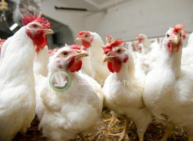 'حماية المستهلك': هكذا أفشلنا مخططا لرفع سعر الدجاج